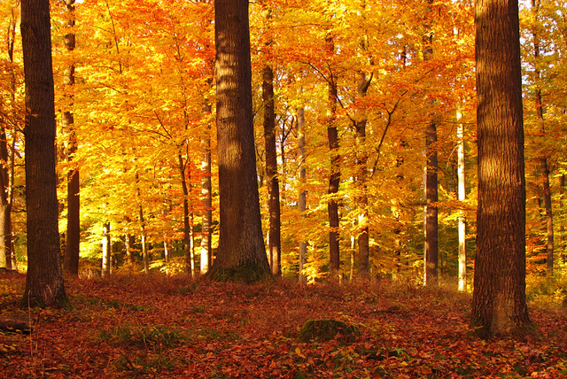Autumn Beech por Uschi