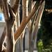 Venice Trees