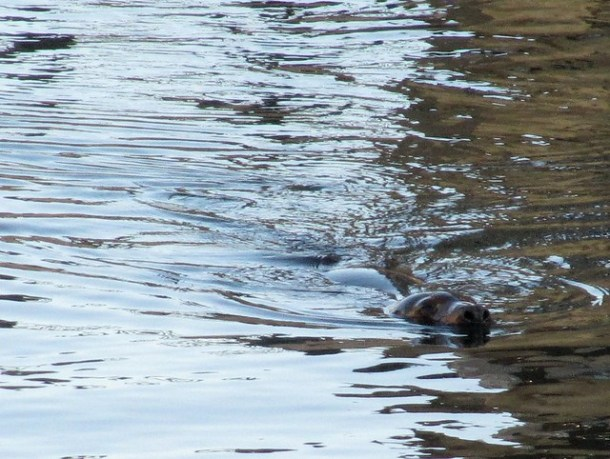 Seal in the Providence River!
