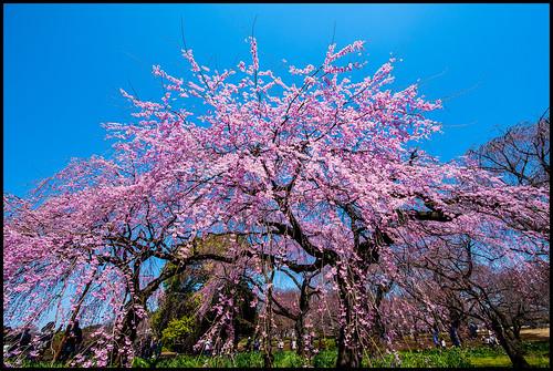 Sakura @ Shinjuku Gyoen by Rob Shaw (BFL)
