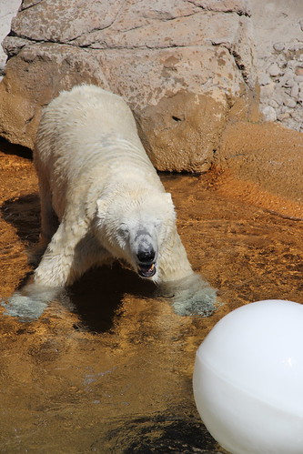 Denver\'s Polar Bears!