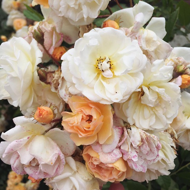 Part 2 of #reasonstobecheerful : roses. This climbing rose in my garden is spilling over with blossom at the moment, and smells amazing. If you're in the UK there's sure to be one near you too - if not in a garden, then in a park or garden you can visit.