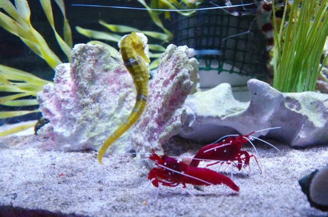 Seahorse and little red lobsters
