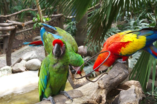 Green and red macaw
