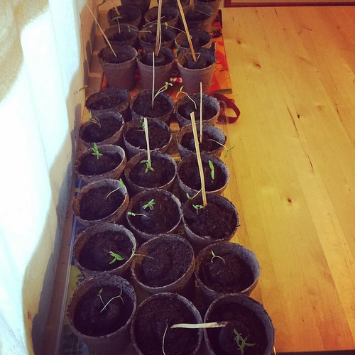Transplanting baby tomatoes