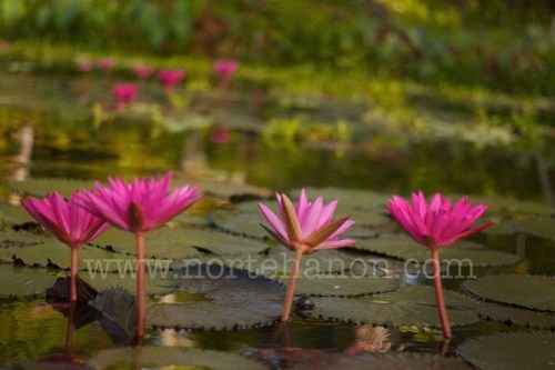 8 Lake Sebu lotuses
