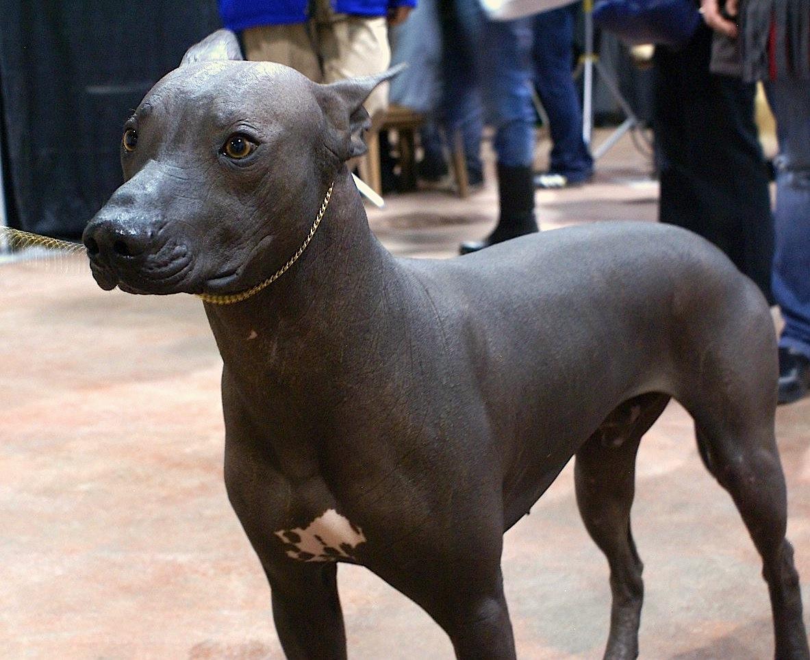 Fullsize Of Hairless Dog Breeds