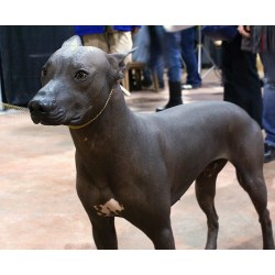 Small Crop Of Hairless Dog Breeds