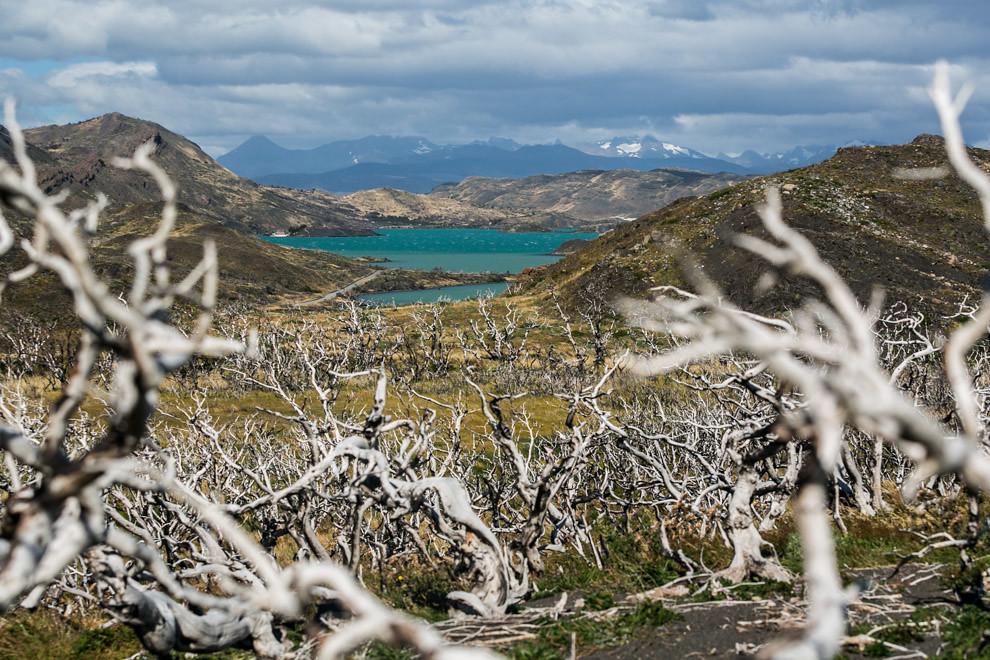 Cientos de árboles incendiados por culpa del hombre, en el Parque Nacional Torres del Paine, yacen como testimonio del daño causado. Demoran 500 años o más en descomponerse, debido a la ausencia de bacterias por el clima frío. (Tetsu Espósito).