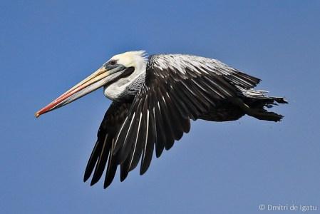 Pelicano Peruano - Paracas