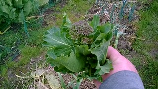 Asturian Tree Cabbage