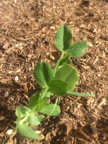 The veggie garden grows