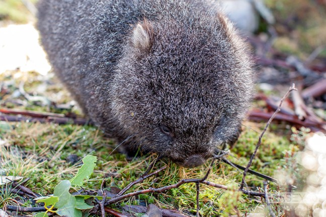 Our first sighting of a cute, Common Wombat.
