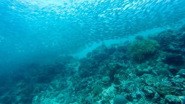 Reef and sardine shoal. Moalboal