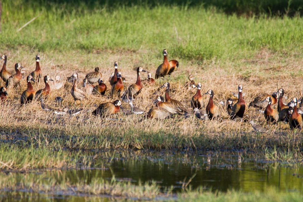 Decenas de Patos Silbones de cara blanca (Dendrocygna viduata) se alimentan en una de las aguadas al costado del camino hacia Laguna Campo María. (Tetsu Espósito).