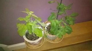 Overwintering aubergine and rocoto chili