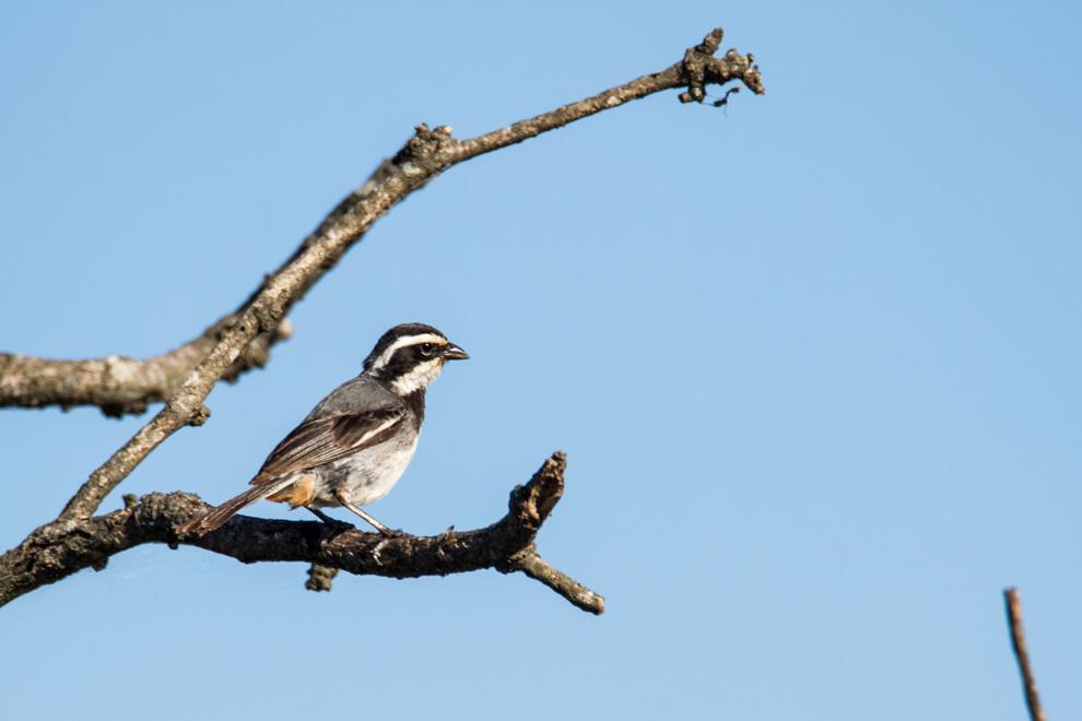 El dominiquí de collar (Poospiza torquata) se posa en las ramas secas cerca del Campamento Laguna Capitán. (Tetsu Espósito).