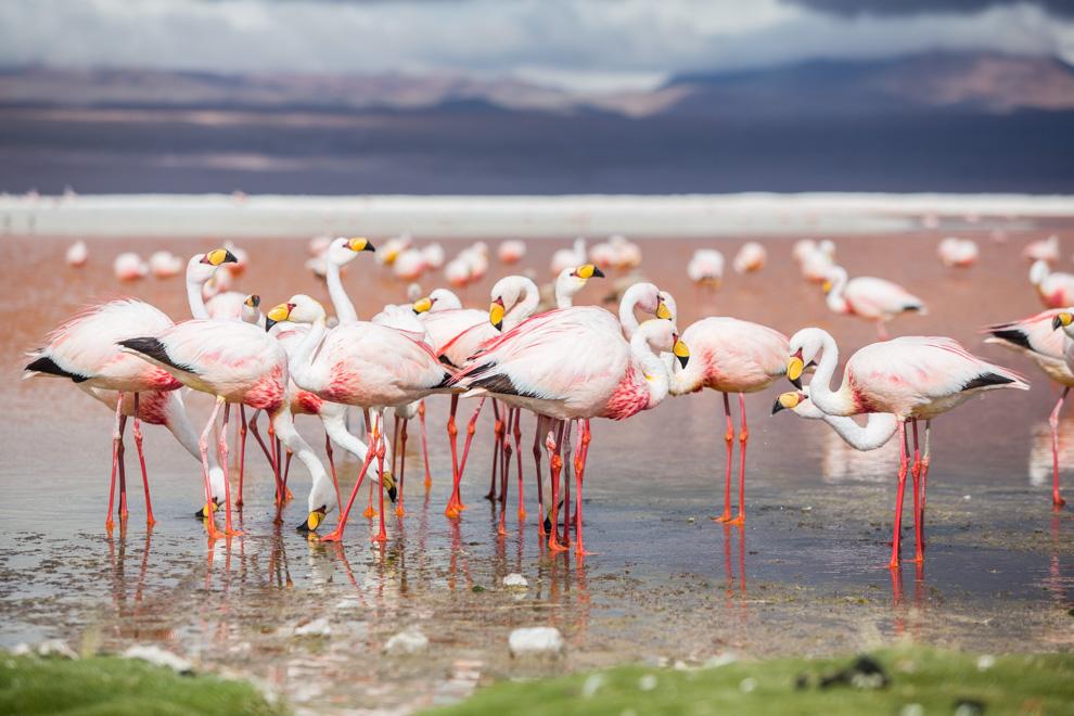 Bandada de flamencos andinos alimentándose en las orillas de la Laguna Colorada. La coloracion rojiza de la Laguna se debe a los sedimentos de color rojo y pigmentos de algunas clases de algas. La tonalidad de las aguas va del marron al rojo intenso. (Tetsu Espósito)