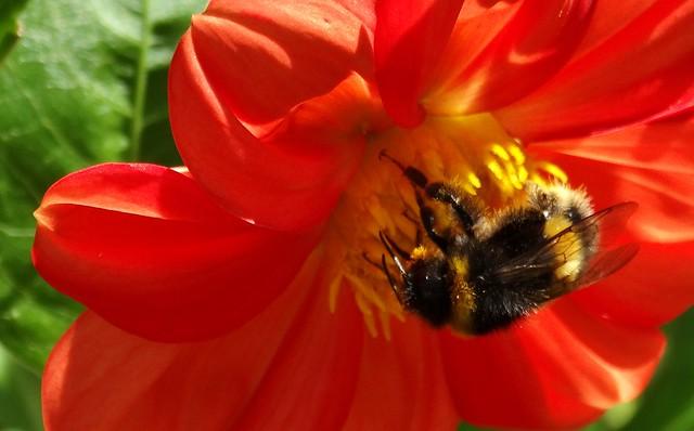 Bumble bee on orange dahlia