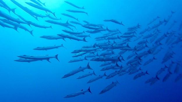 Barracuda. Una Una