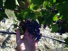 Daydreamer Merlot grapes - 2013 copy
