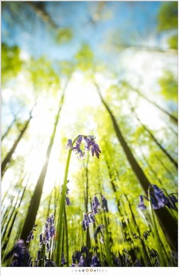 De boshyacint onder de hoge beukenbomen
