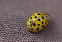 Tiny yellow beetle