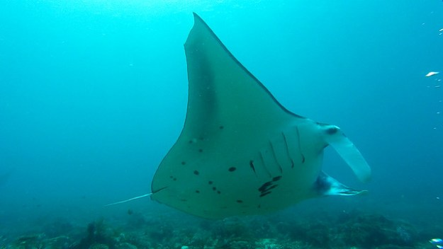 Manta at Makassar Reef. Komodo