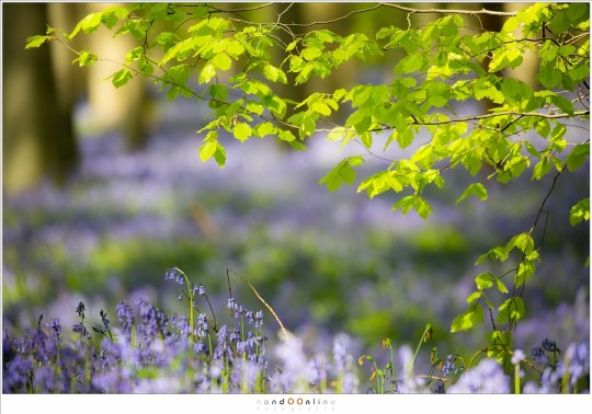 Het groen en paars van het Hallerbos