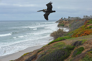 Brown Pelican Soars