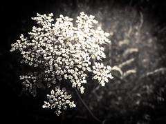 Fleurs des champs - 01