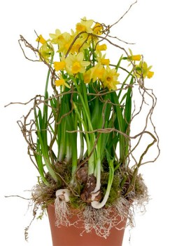 Potted Daffodils -  - Leanne and David Kesler, Floral Design Institute, Inc., in Portland, Ore.