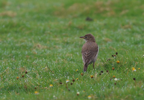 """Rose-colored-Starling, Davidstow, 20.09.16 (M.Halliday) • <a style=""""font-size:0.8em;"""" href=""""http://www.flickr.com/photos/30837261@N07/30093267706/"""" target=""""_blank"""">View on Flickr</a>"""