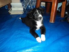 Diablo Puppy 18