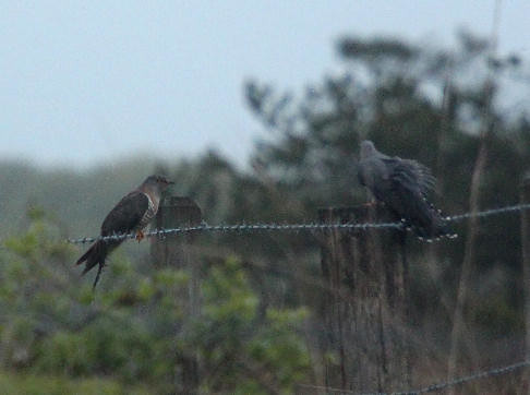 """Cuckoo, The Lizard, 150515 (B.Hawker) • <a style=""""font-size:0.8em;"""" href=""""http://www.flickr.com/photos/30837261@N07/17701558840/"""" target=""""_blank"""">View on Flickr</a>"""