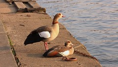 Egyptian Goose pair