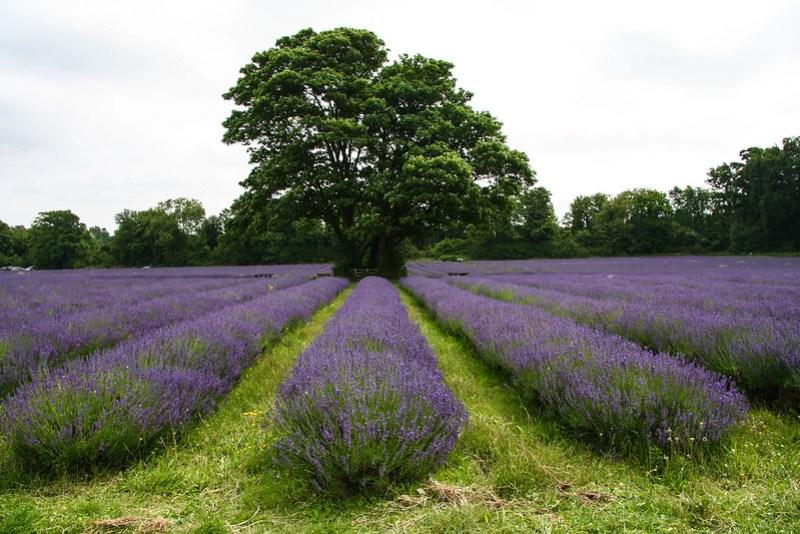 Lavender Rows