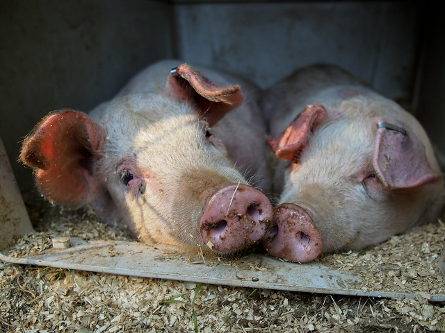 Raising Backyard Hogs