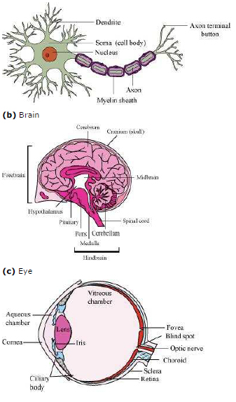 NCERT Solutions Class 11th Biology: Chapter 21 Neural Control and Coordination Image by AglaSem