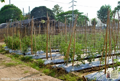Vacant Lot converted into a Productive Farm at the back of SM City Rosales