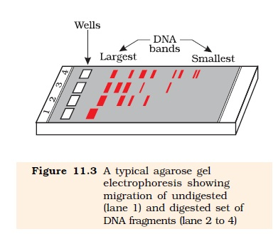 NCERT Class XII Biology Chapter 11 : Biotechnology Principles and Processes