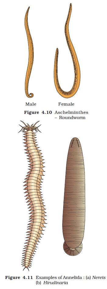 NCERT Class XI Biology: Chapter 4   Animal Kingdom Image by AglaSem