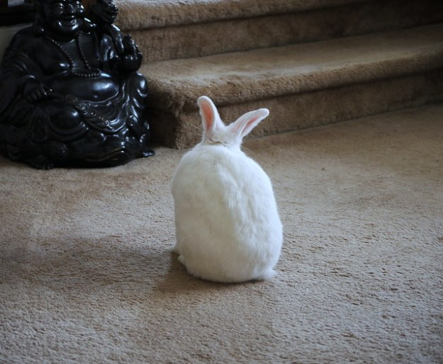 bunny snub