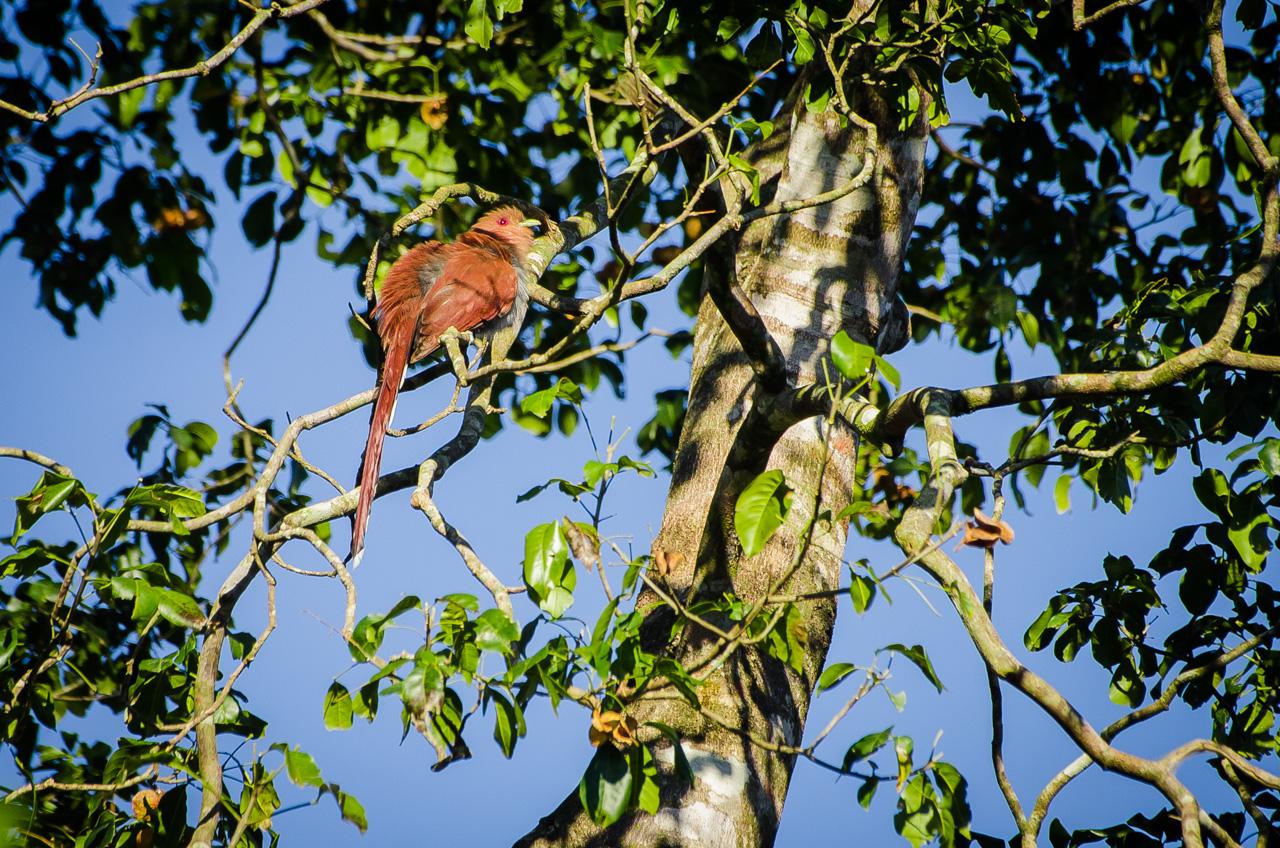 Un tingazú (Piaya cayana) busca altura para tomar sol mientra nos observa curioso en una fría mañana en la Reserva Morombí. (Elton Núñez)