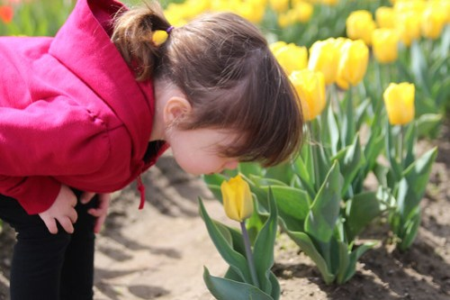 smelling the yellow tulips