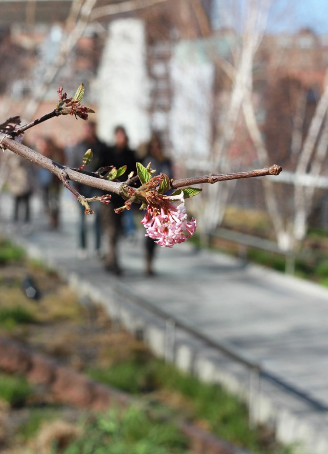 viburnum on the high line