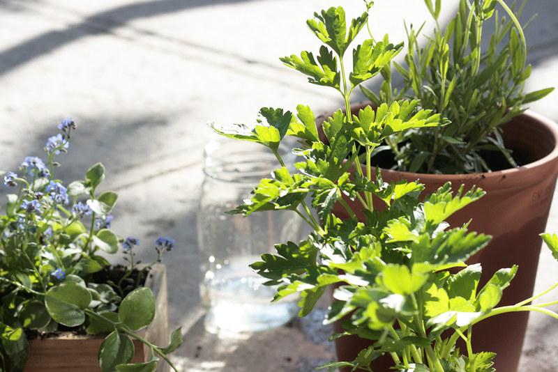 parsley, ball jar