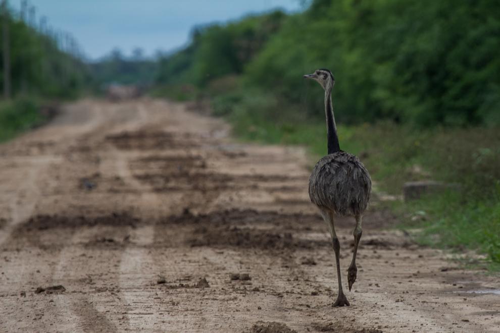 Viajando por los caminos de tierra que unen a Cruce Los Pioneros con Bahía Negra nos encontramos con este Ñandu guasu (Rhea americana). (Tetsu Espósito)