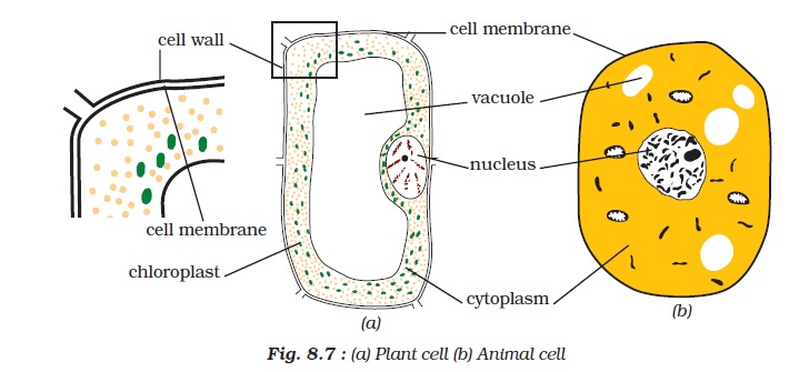 NCERT Class VIII Science Chapter 8 Cell Structure and Functions Image by AglaSem