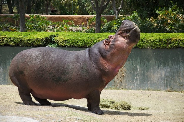 The fabulous hippo